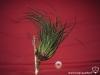 Tillandsia punctulata XXL