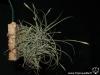 Tillandsia recurvata spécimen #1