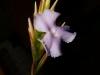 Tillandsia reichenbachii spécimen #1 fleur
