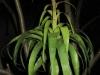 Tillandsia 'Samantha' (T. mooreana x T. kalmbacheri)