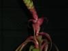 Tillandsia 'Samantha' (T. mooreana x T. kalmbacheri) inflorescence