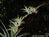 Tillandsia secunda spécimen #1 (rejets sur l'inflorescence)