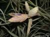 Tillandsia seleriana inflorescence