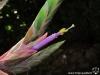 Tillandsia 'Showtime' fleur