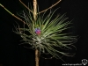 Tillandsia stricta 'Black' (photo prise en hiver)