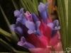 Tillandsia stricta 'Black' fleur (photo prise en hiver)