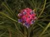 Tillandsia stricta Hard leaf form fleur