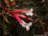 Tillandsia tenuifolia spécimen #2 fleurs (claires, presque blanches)