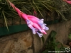 Tillandsia tenuifolia spécimen #1 inflorescence