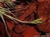 Tillandsia tricholepis spécimen #1 inflorescence