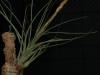 Tillandsia tricolor spécimen #2