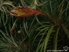 Tillandsia tricolor spécimen #1 (2012)