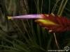 Tillandsia tricolor spécimen #1 fleur