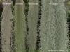 Tillandsia usneoides (quelques cultivars, même s'ils ne sont pas reconnus)
