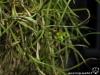 """Tillandsia usneoides semblable à """"El Normal"""" fleur"""