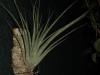 Tillandsia utriculata (jeune spécimen)