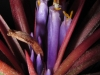 Tillandsia 'Victoria' (T. ionantha x T. brachycaulos) fleur