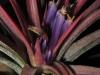 Tillandsia 'Victoria' (T. ionantha x T. brachycaulos) inflorescence