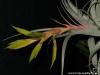 Tillandsia xerographica spécimen #1 inflorescence