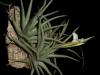 Tillandsia xiphioides (2013)