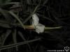 Tillandsia xiphioides inflorescence