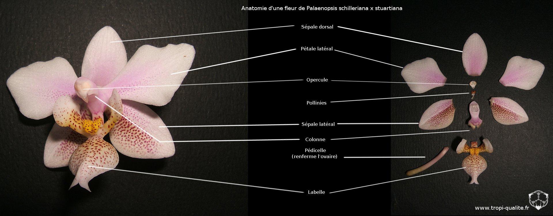 description botanique des phalaenopsis - tropi'qualité