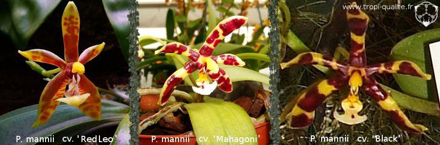 les hybrides  vari u00e9t u00e9s et cultivars de phalaenopsis