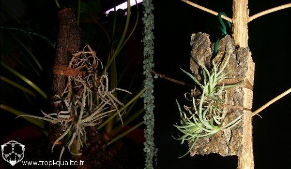 La même plante cultivée sur un simple bout de bois ou sur un morceau de liège