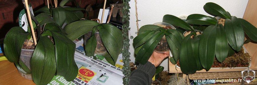 orchidee qui ne fait que des feuilles