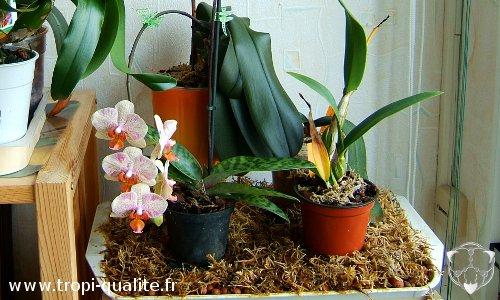 cultiver les phalaenopsis tropi qualit. Black Bedroom Furniture Sets. Home Design Ideas