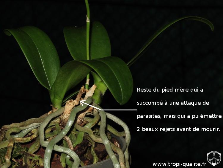 Exemple d'un Phalaenopsis qui a produit 2 rejets à sa base avant de mourir (cliquez pour agrandir)