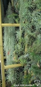 Floraison Tillandsia usneoides (cliquez pour agrandir)