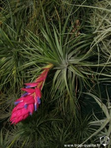 Floraison Tillandsia stricta 'Black' 11/2012 (cliquez pour agrandir)
