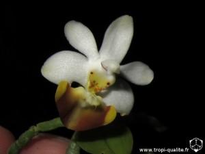 Floraison rejet Phalaenopsis lobbii fleur (cliquez pour agrandir)