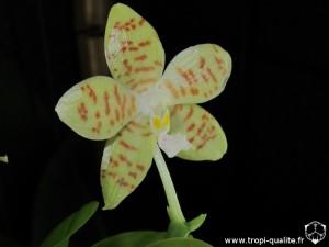 Phalaenopsis pallens fleur (cliquez pour agrandir)