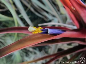 Tillandsia capitata Red form ou Tillandsia capitata var. rubra fleur (cliquez pour agrandir)
