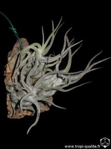 Tillandsia caput-medusae Sonoran snow form (cliquez pour agrandir)
