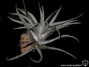 Tillandsia harrisii spécimen #2 (cliquez pour agrandir)