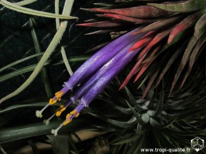Tillandsia ionantha var. ionantha spécimen #1 fleur (cliquez pour agrandir)
