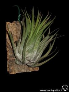 Tillandsia kolbii (cliquez pour agarndir)