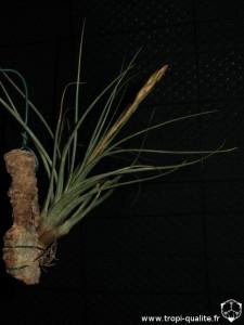 Tillandsia tricolor spécimen #2 (cliquez pour agrandir)