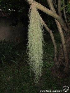 "Tillandsia usneoides semblable à ""El Finito"" (cliquez pour agrandir)"