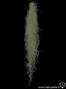 """Tillandsia usneoides semblable à """"El Largo"""" (cliquez pour agrandir)"""