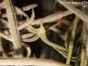 Bébé Tillandsia crocata 05/2010 (cliquez pour agrandir)