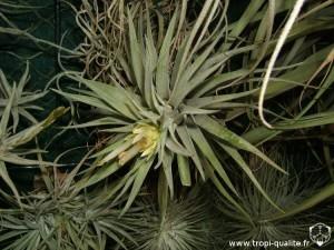 Floraison Tillandsia plagiotropica 11/2012 (cliquez pour agrandir)