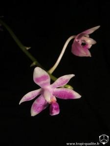 Floraison Phalaenopsis modesta fleur (cliquez pour ouvrir)