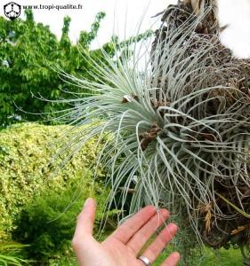 Tillandsia tectorum f. gigantea (cliquez pour agrandir)