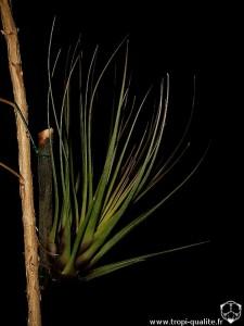 Tillandsia tricolor var. melanocrater 2010 (cliquez pour agrandir)