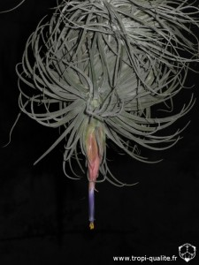 Tillandsia velickiana spécimen #2 (cliquez pour agrandir)