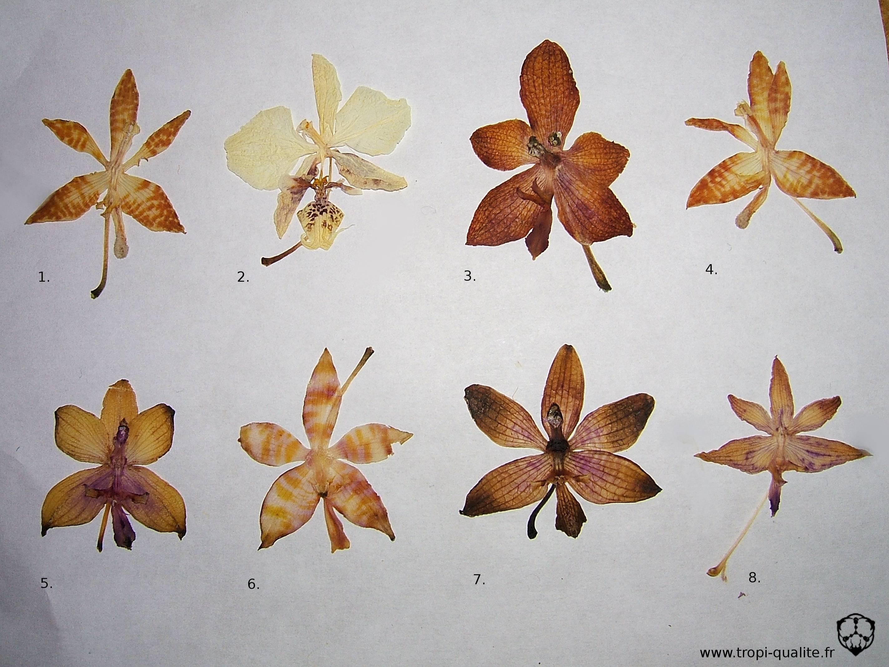 devinette a quelles esp ces appartiennent ces fleurs mises en herbier tropi qualit. Black Bedroom Furniture Sets. Home Design Ideas
